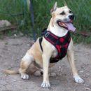 Учим собаку носить шлейку: особенности и выбор амуниции