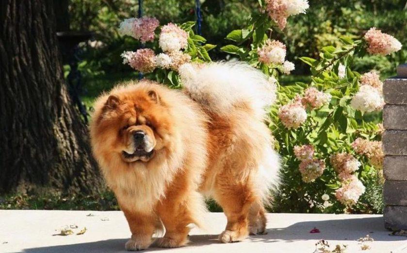 собака с синем языком