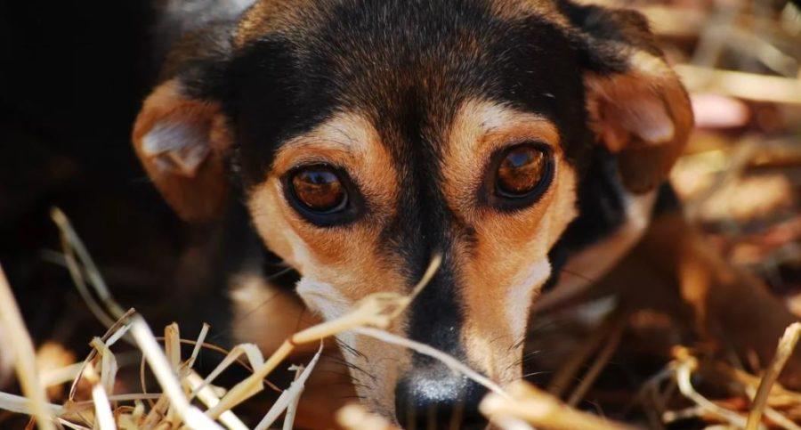 возраст собаки по глазам