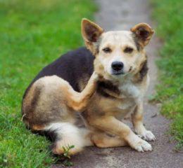 Неприятные паразиты у собаки - власоеды: опасность и лечение