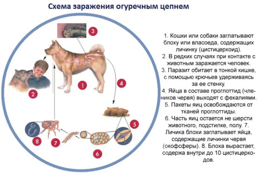 огуречный цепень у собаки