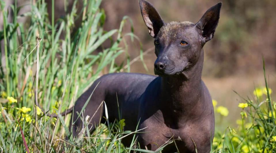 на фотографии Мексиканская голая собака