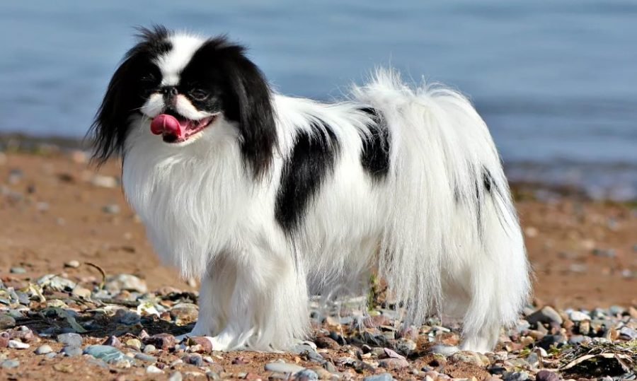 уход за собакой японский хин