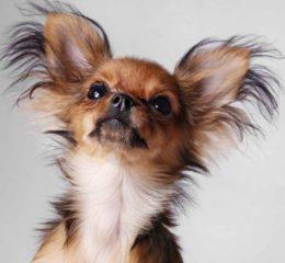 Самая миниатюрная декоративная собачка из группы тоев - Русский той-терьер