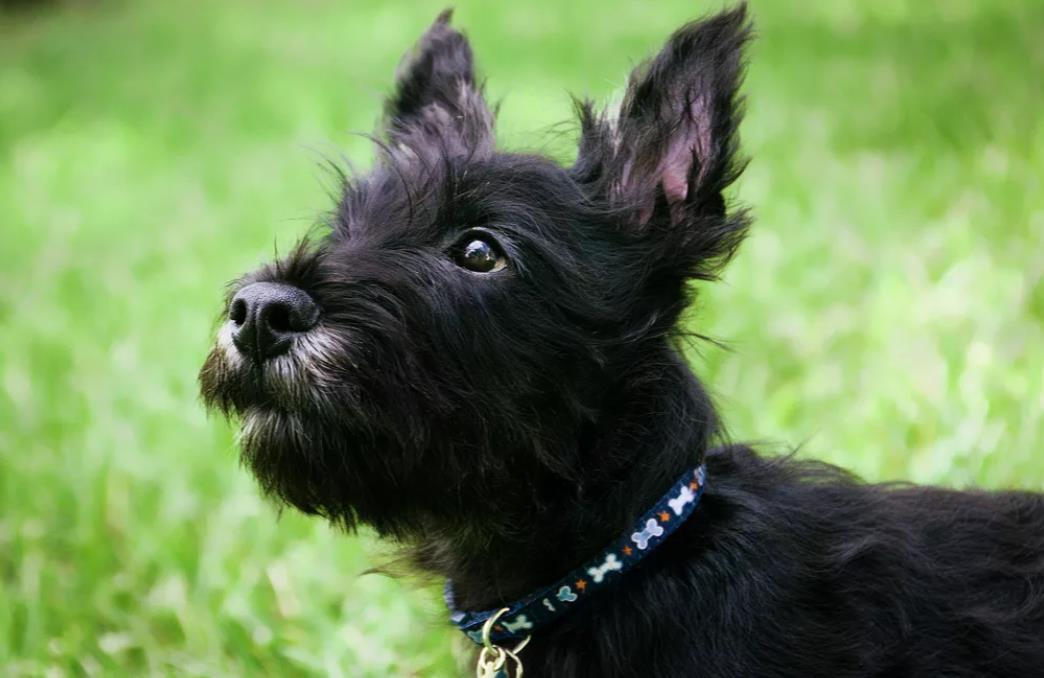 шотландский скотч терьер щенок