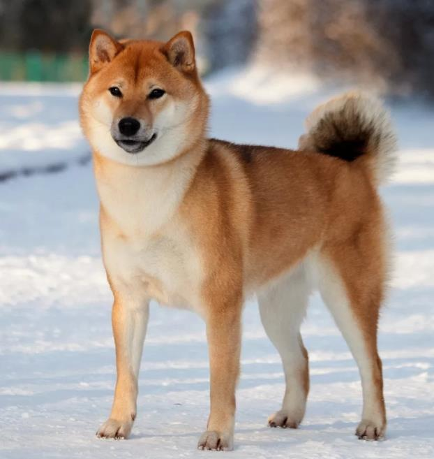 Собака- национальное достояние Японии: Сиба-ину