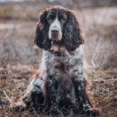 Одна из лучших отечественных охотничьих собак - Русский охотничий (кокер) спаниель