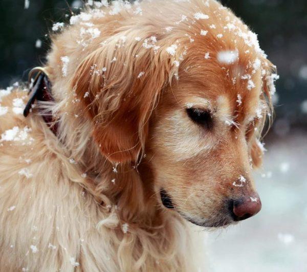 Перхоть у собаки: почему появляется, что делать, как избавиться