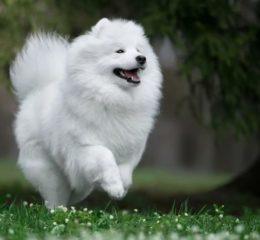 Белый, пушистый комок счастья – Самоедская собака (лайка)