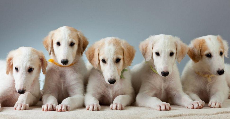 Фотография русская (псовая) борзая - щенки