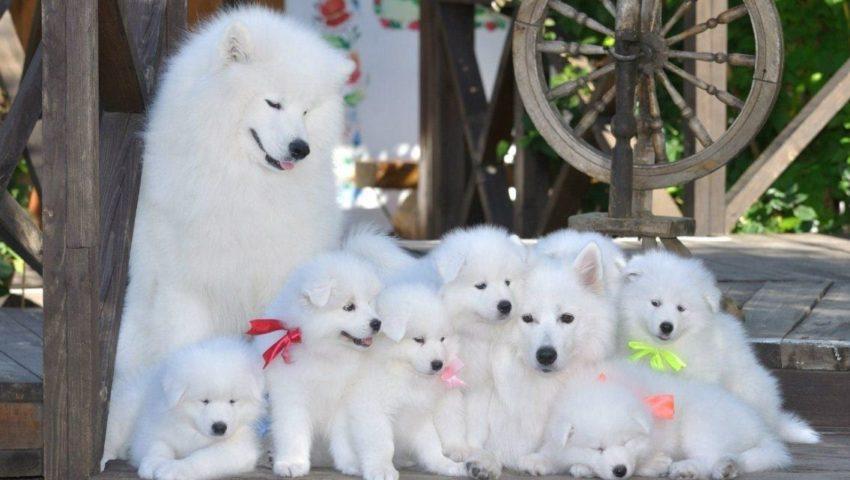 Фото Самоедская собака со щенками