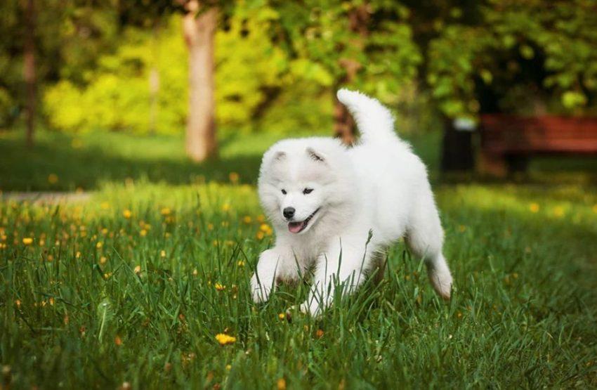 Фотография Самоедская собака