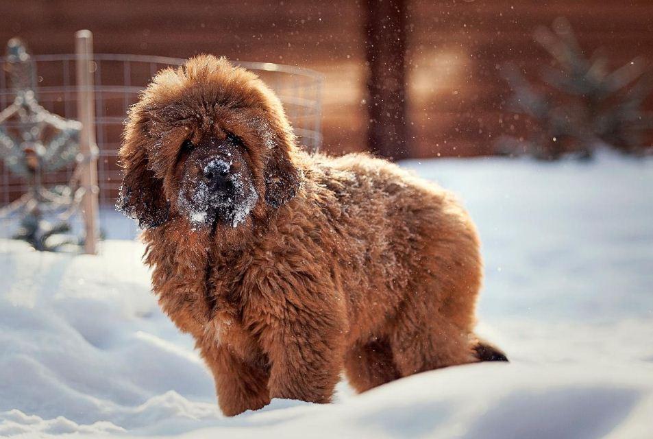Фотография щенка тибетского мастифа
