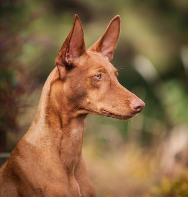 Экзотический грациозный мальтиец - Фараонова собака