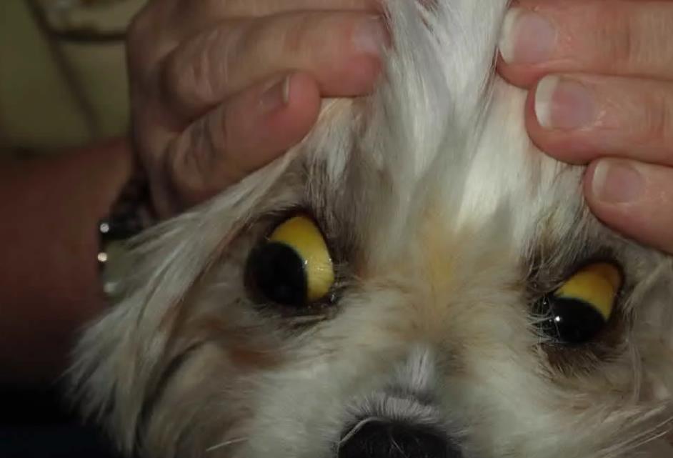 лептоспирос у собаки