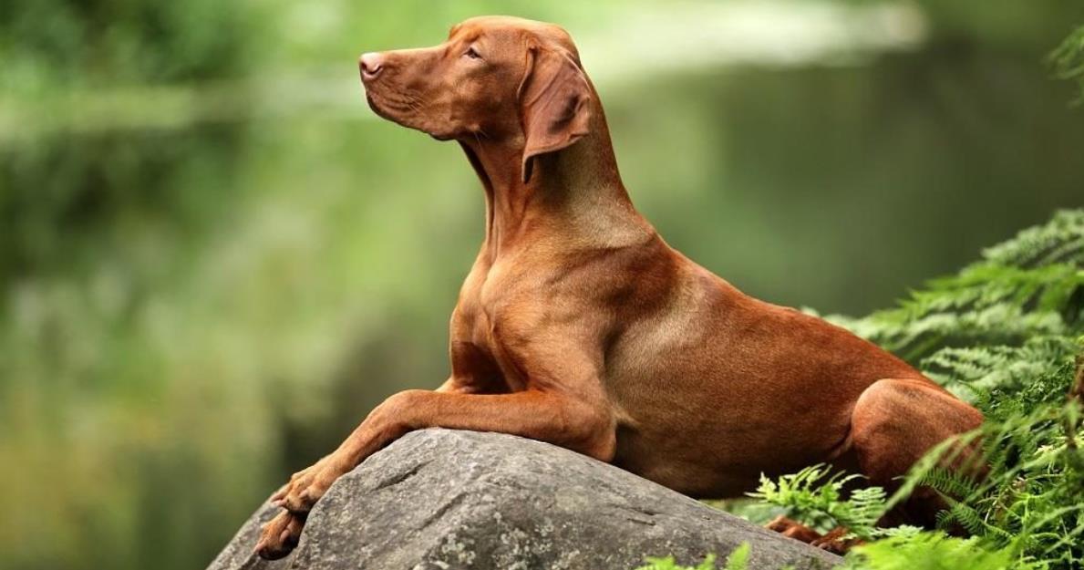 собака с короткой шерстью