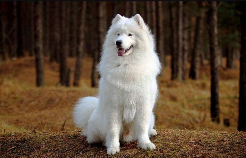 Фото Самоедская собака
