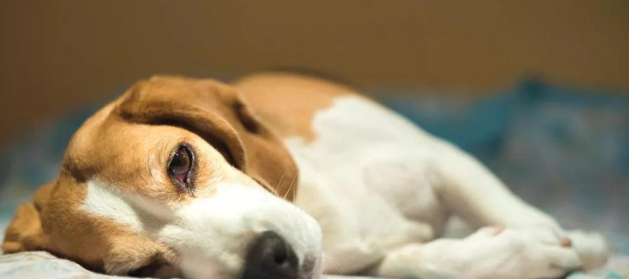 лептоспироз собаки