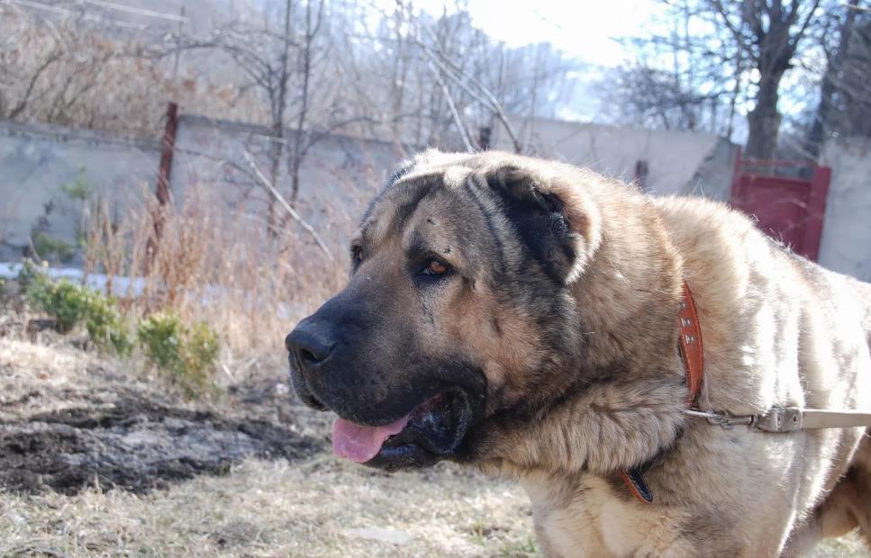 армянский волкодав