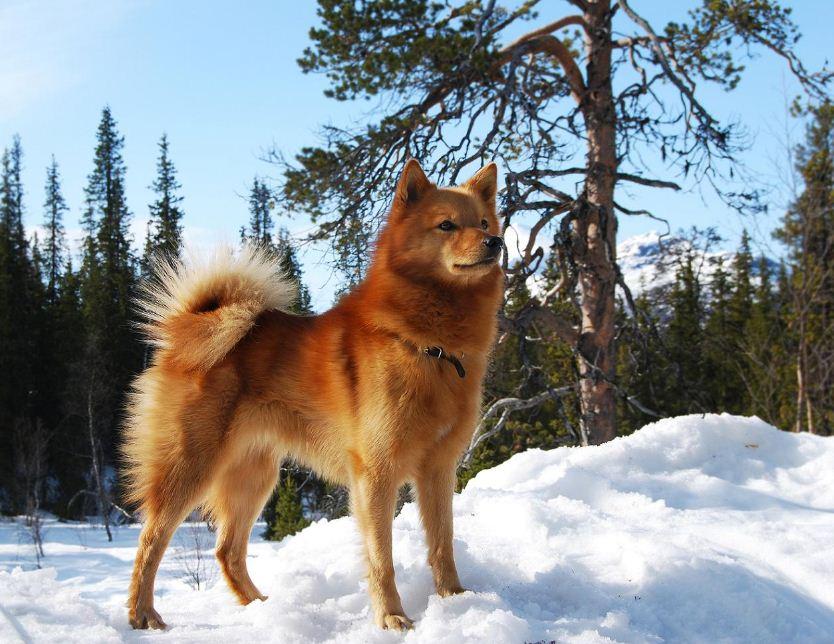 Фотография карело-финская лайка