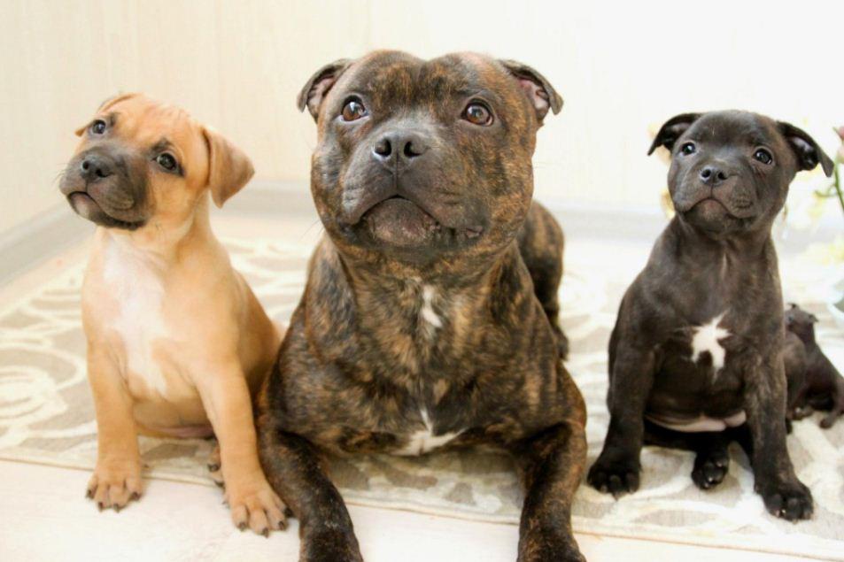 Стаффордширский бультерьер с щенками