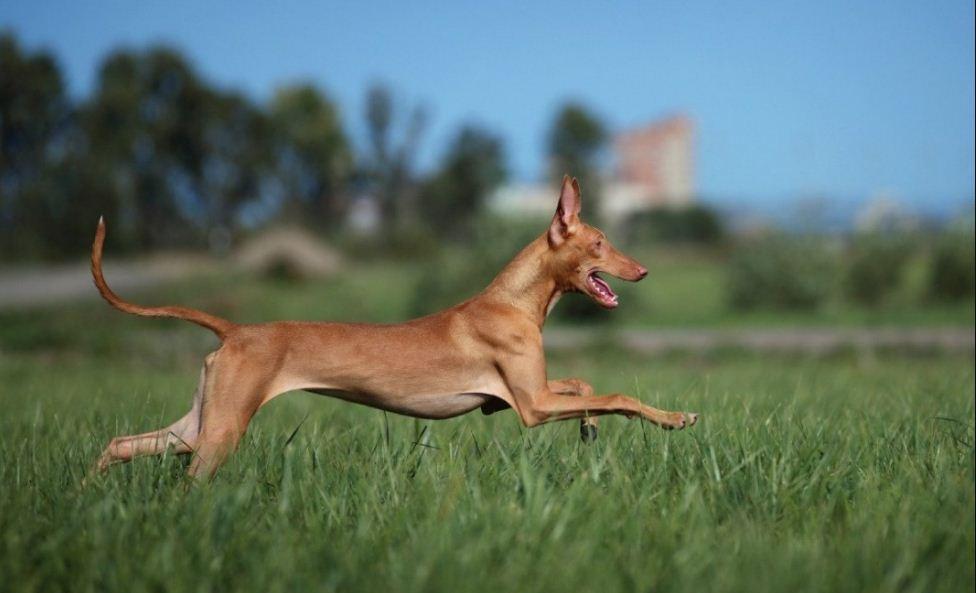 Фотография Фараонова собака