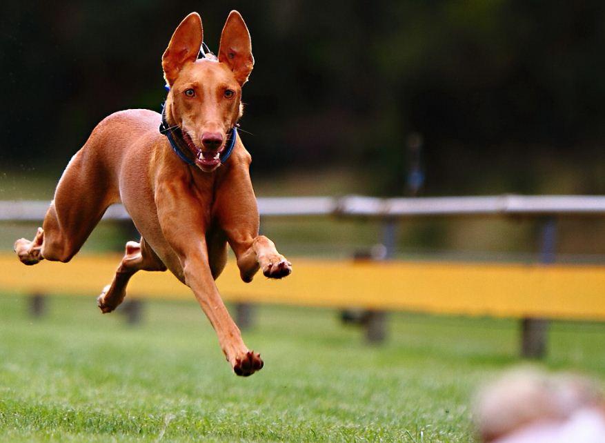 Фараонова собака на фото