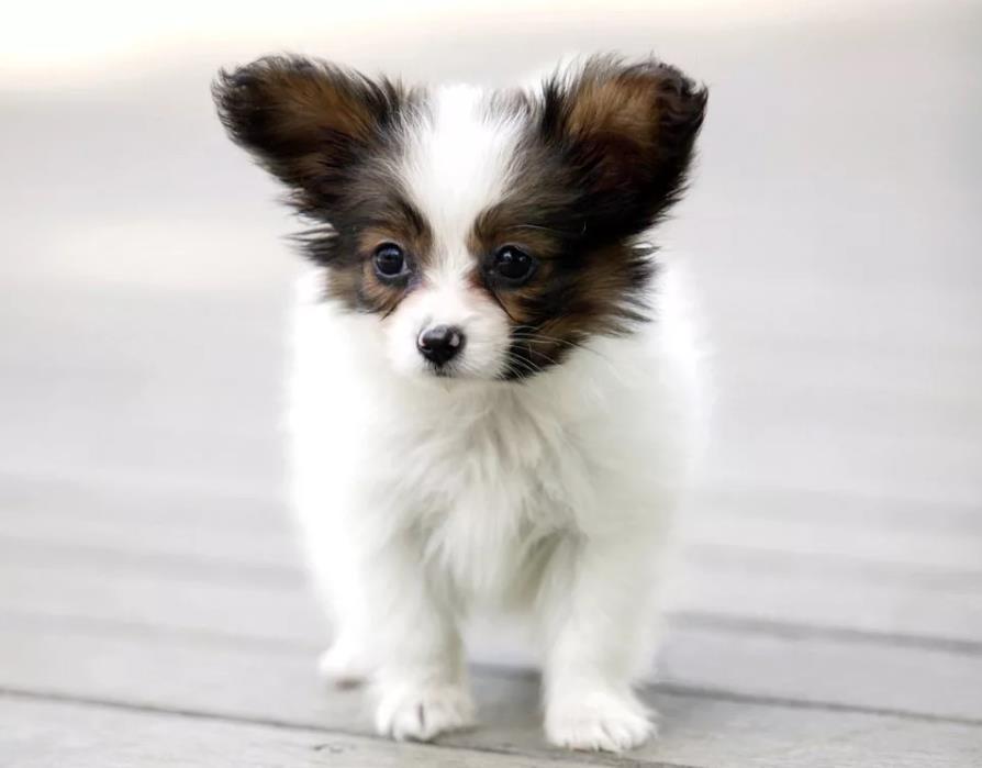 Папильон щенок