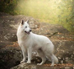 Яркая, самобытная, позитивная - Белая швейцарская овчарка