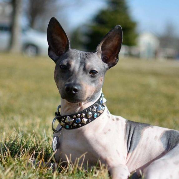 Собака без шерсти - Американский голый терьер