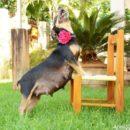 Особенности и длительность беременности у собак
