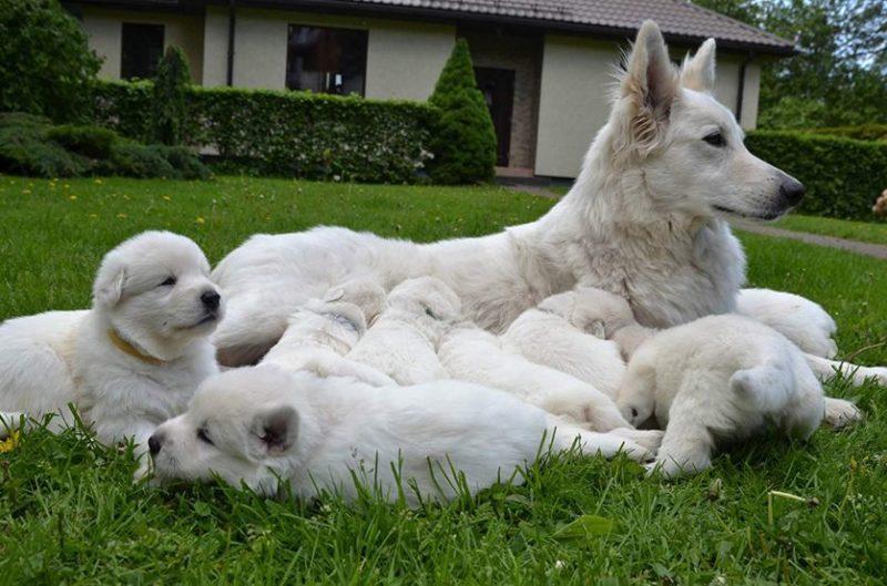 Фотография Белой швейцарской овчарки