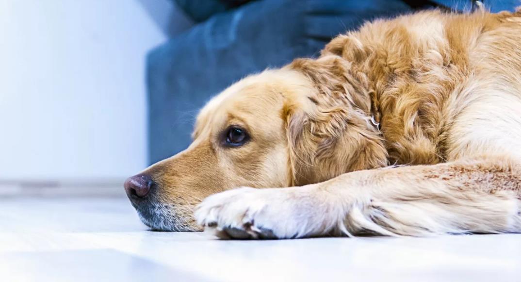 у собаки энтерит чем лечить