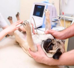 Воспаление оболочки матки у самок собак - пиометра