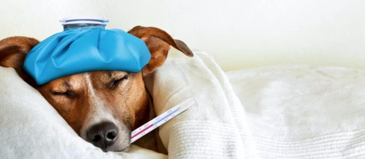 повышенная температура у собаки