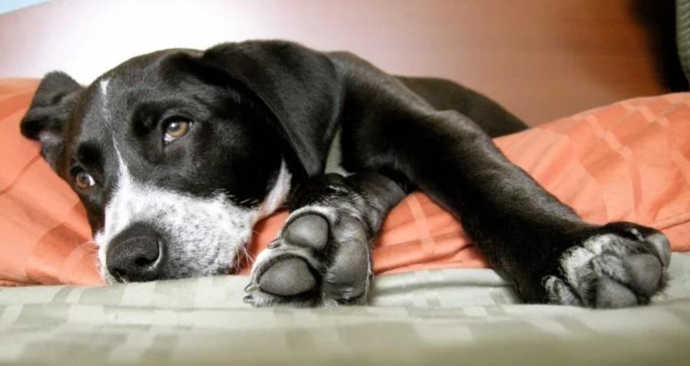 пиометра у собаки