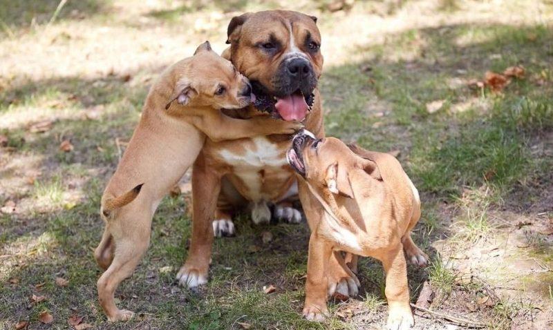 Фотография мама и щенки Ка де Бо