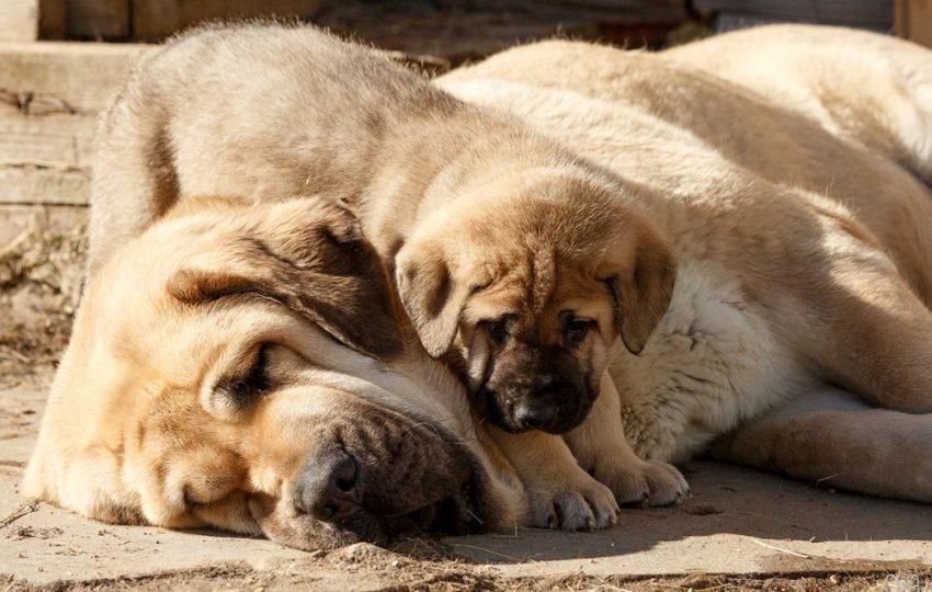 Фотография Испанский мастиф мама и щенок