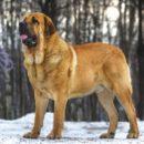 Большая собака для всей семьи - Испанский мастиф