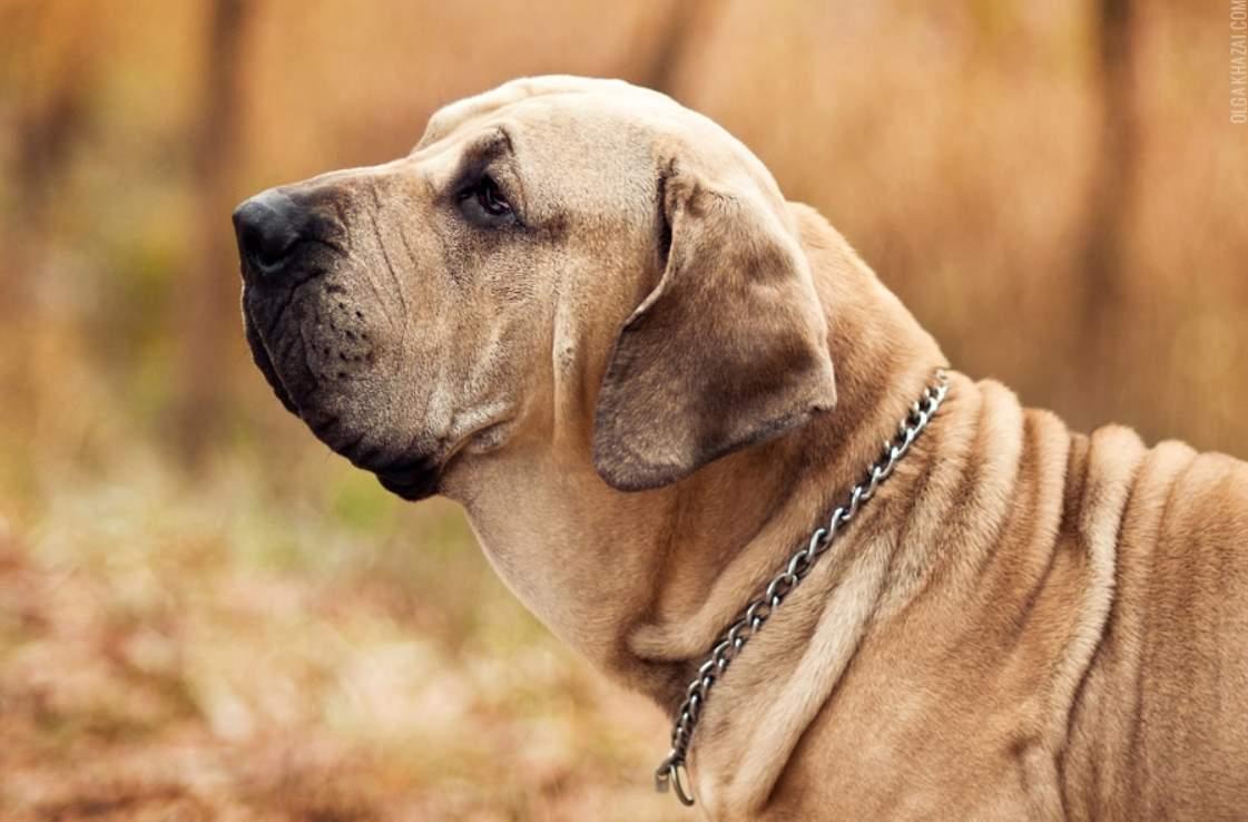 Фила бразилейро фотография собаки