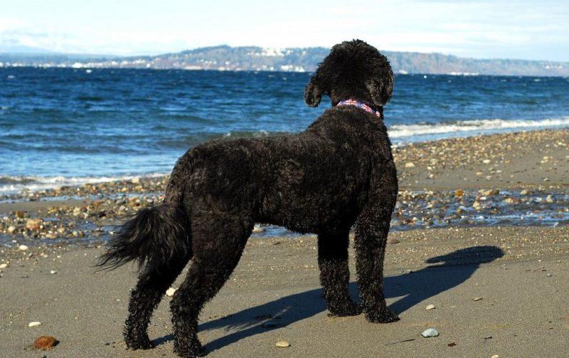 Фотография Португальская водяная собака