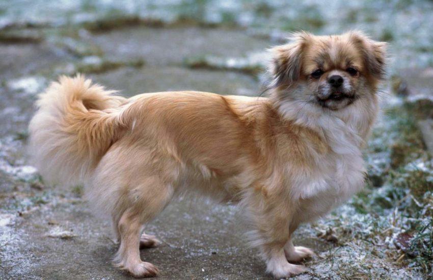 фото собаки Тибетский спаниель