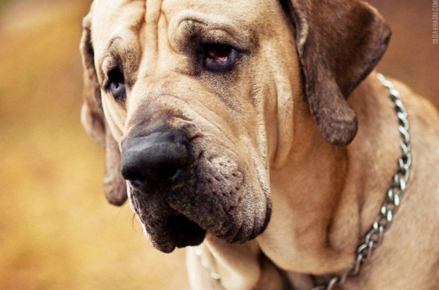 фото собаки Фила бразилейро