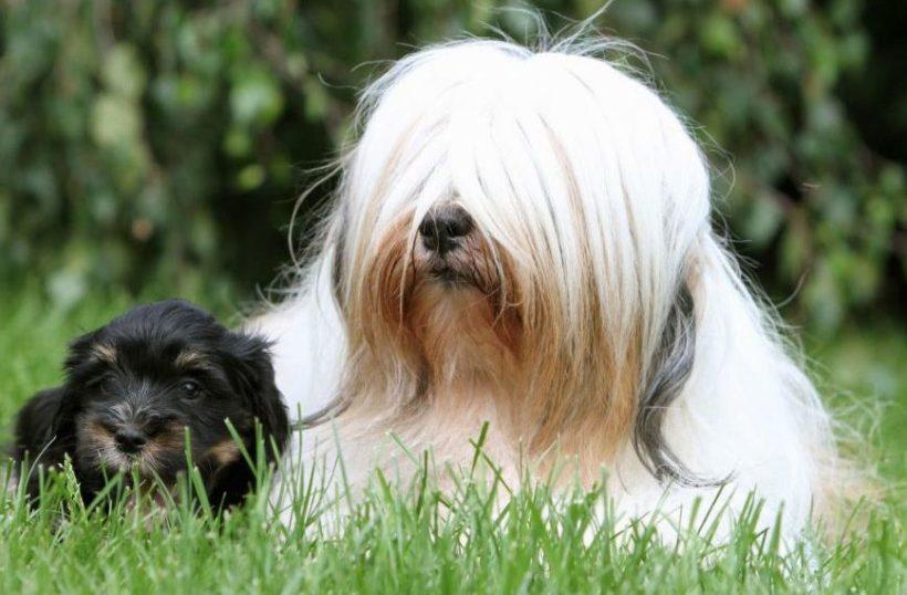 Фото Тибетский терьер щенок и мама