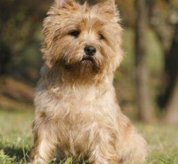 Рабочий пес родом из Шотландии - Керн-терьер