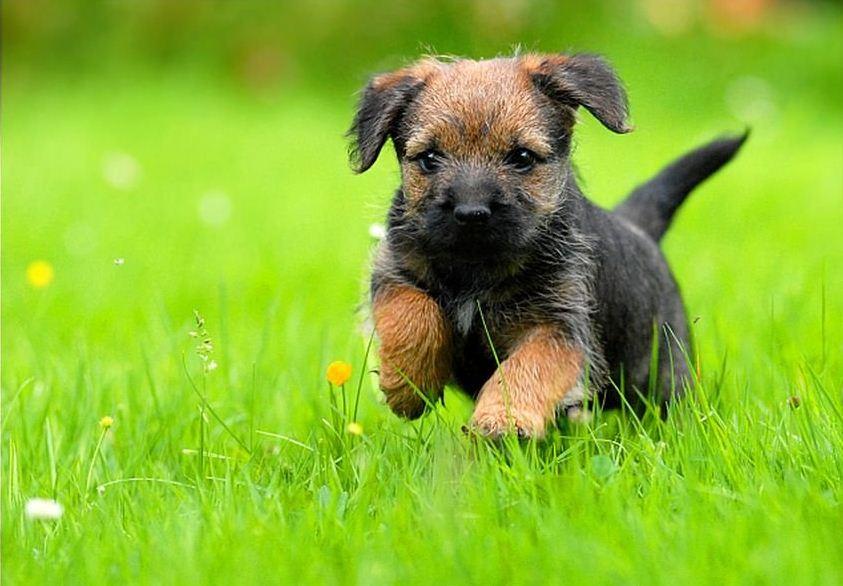 Фотография щенка Бордер-терьера