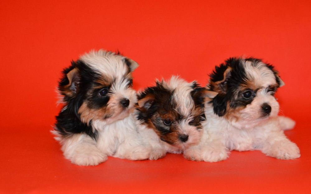Фотография Бивер-йоркширский терьер щенки