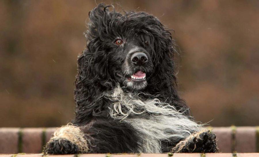 водяная собака фото