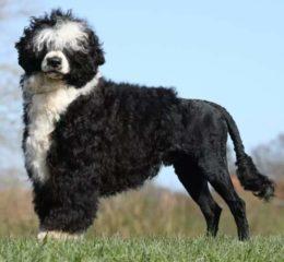 Прекрасная и редкая - Португальская водяная собака