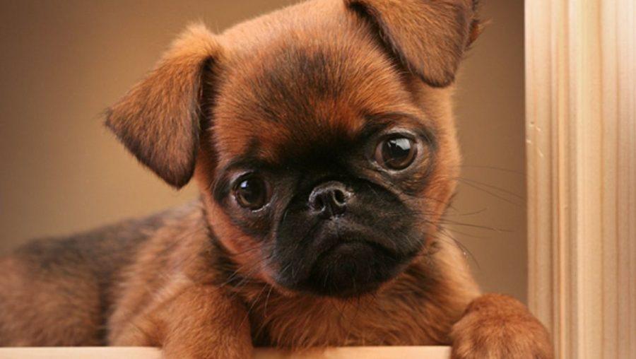 Фотография Пти-брабансон щенок